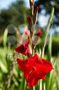 Red-gladiolus