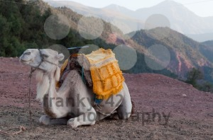 Resting Camel - franky242 photography