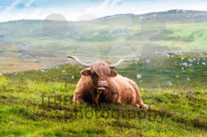 Resting Scottish Highland cow - franky242 photography
