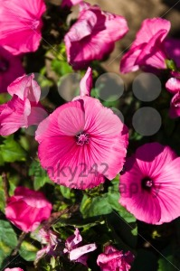 Rose-mallow-flowers