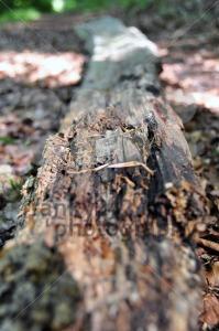 Rotten-tree-trunk-1