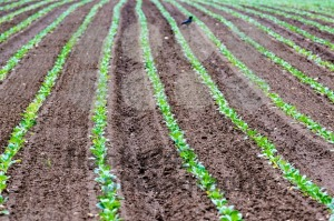 Rows of recently planted lettuce with bird - franky242 photography