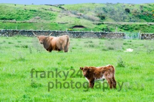 Scottish Highland Cattle - franky242 photography