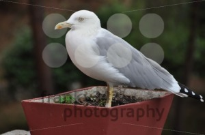 Seagull-in-flower-pot1
