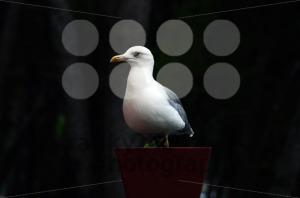 Seagull-in-flower-pot2
