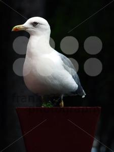 Seagull-in-flower-pot3