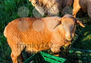Sheeps being fed - franky242 photography