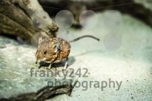 Short-eared elephant-shrew - franky242 photography