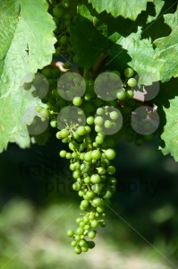 Small-Green-Grapes-in-Vineyard