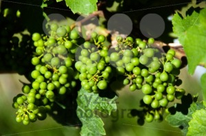 Small-Green-Grapes-in-Vineyard-in-Summer
