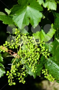 Small-Green-Grapes-in-Vineyard-in-Summer1