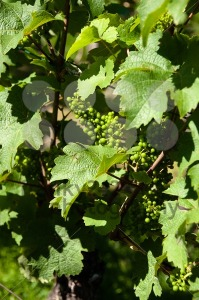 Small-Green-Grapes-in-Vineyard-in-Summer2