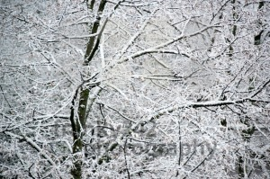 Snow-covered-trees3
