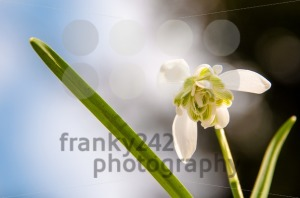 Snowdrop galanthus nivalis - franky242 photography