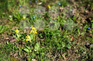 Spring-meadow-with-Cowslips