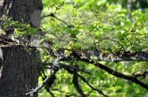 Spring-oak-leaves