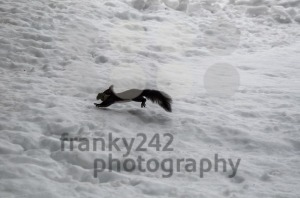 Squirrel jumping over skiing piste - franky242 photography