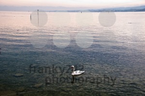 Swan-in-Lake-Constance