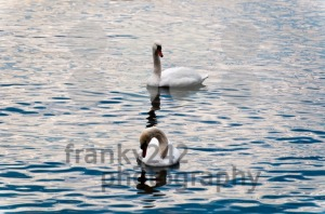 Swans-in-Lake-Constance