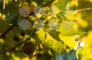 Sycamore-fruits-and-leaves