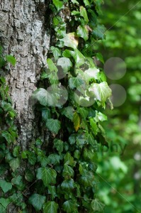 Tree trunk with ivy - franky242 photography