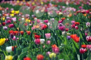Tulip field - franky242 photography