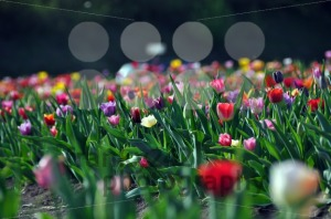 Tulip-field1