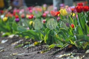 Tulip-field2
