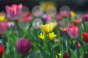 Tulip-field4