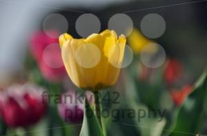 Tulip-field5