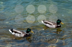 Two ducks swimming in a lake - franky242 photography