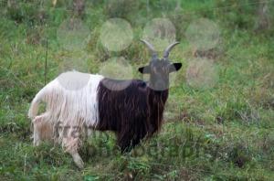 Valais Blackneck Goat - franky242 photography
