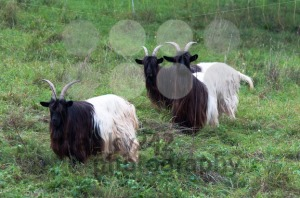 Valais Blackneck Goats - franky242 photography