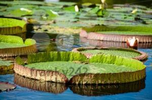 Victoria-Regia-8211-Water-lilies