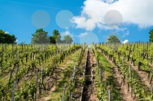 Vineyard-with-great-blue-sky