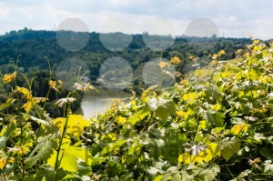 Vineyards-in-Stuttgart1