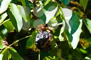 Walnuts-on-the-tree1