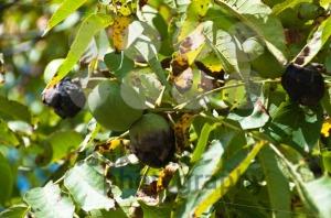 Walnuts-on-the-tree3