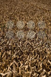 Wheat-field1