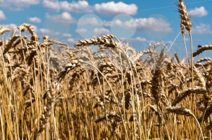 Wheat-field2