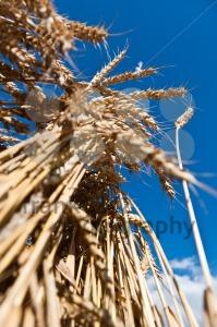 Wheat-from-below