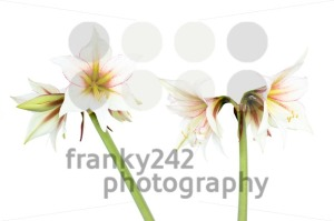 White-Amaryllis-flower