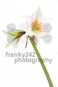 White-Amaryllis-flower1