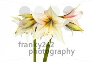 White-Amaryllis-flower2