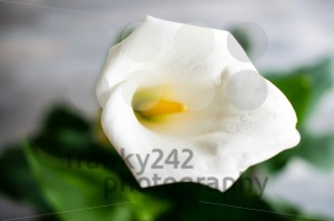 White Calla Lily - franky242 photography