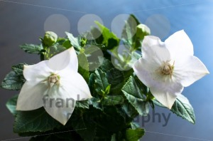White Chinese Bellflower - franky242 photography