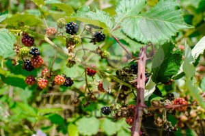 Wild blackberries - franky242 photography