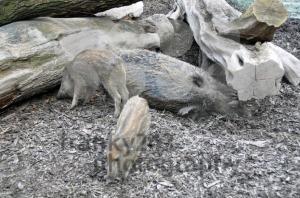 Wild-boar-pig-family