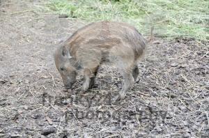 Wild-boar-piglet