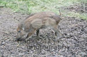 Wild-boar-piglet1